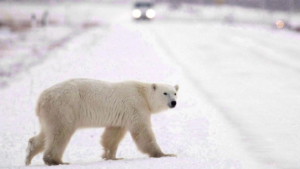 Un ours polaire marche dans la tundra blanche avec une auto à l'horizon.