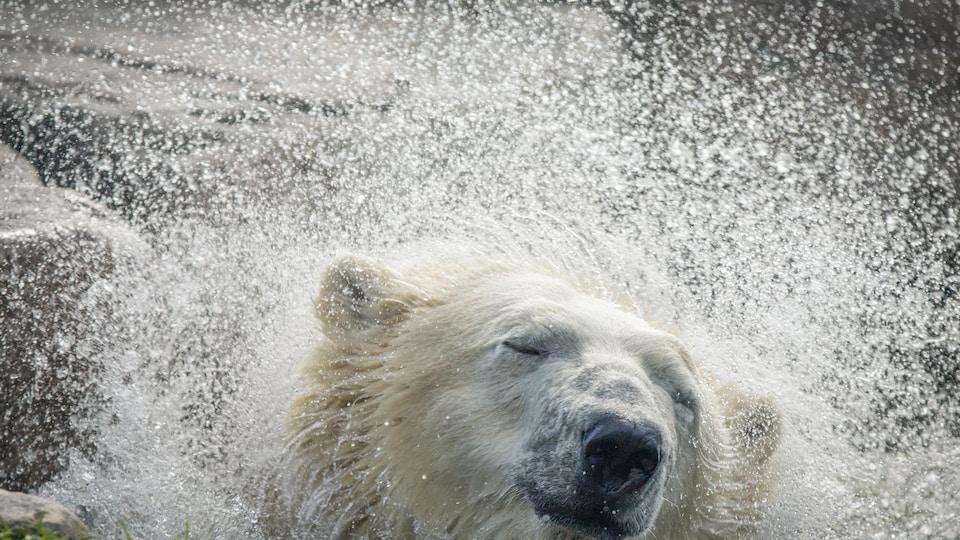 Un ours polaire en captivité.