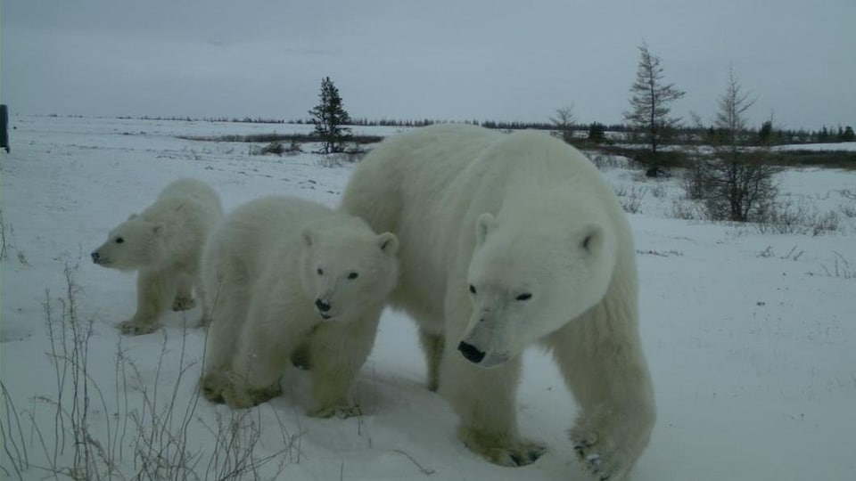 Une ourse polaire avec deux oursons.
