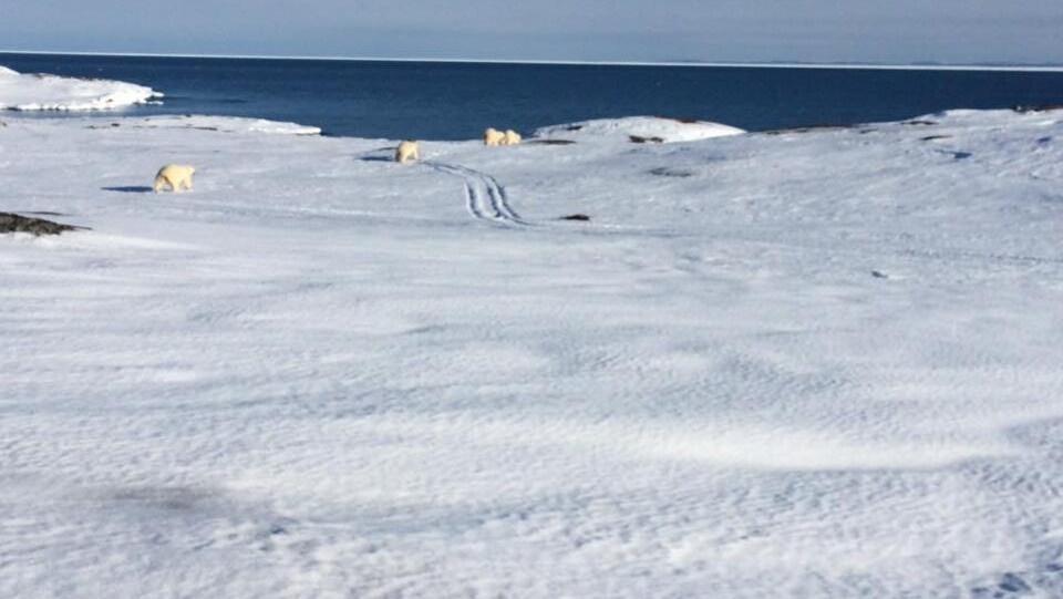 Quatre ours polaires près de Red Bay, au Labrador