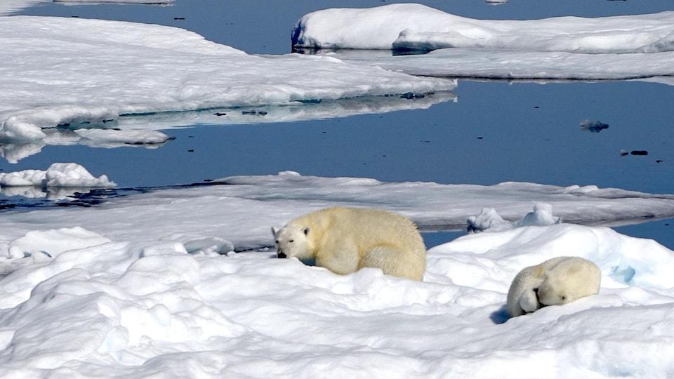 Ours polaires dans le Grand Nord, au Nunavut