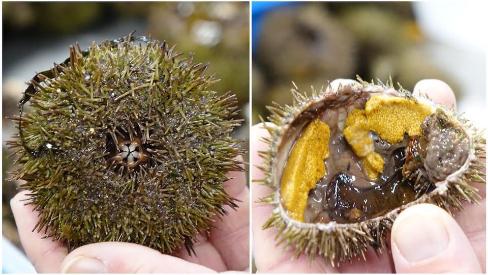 Un oursin avant et après que sa coquille soit brisée en deux.