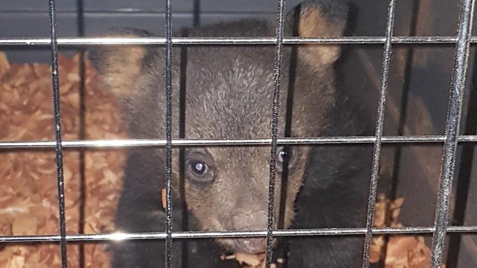 Un ourson derrière des barreaux.