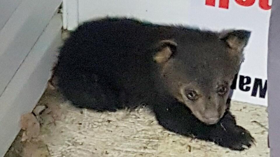 Un ourson de 2,5 kilo.