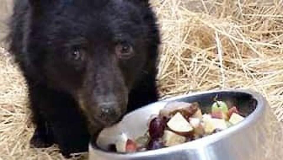 Un ourson maigre mange des fruits dans un bol.
