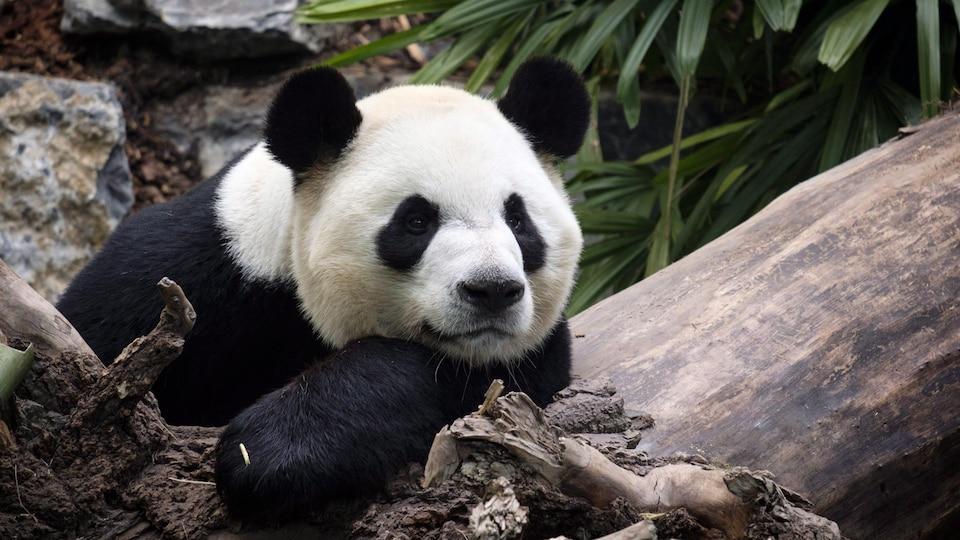 Le panda Da Mao.