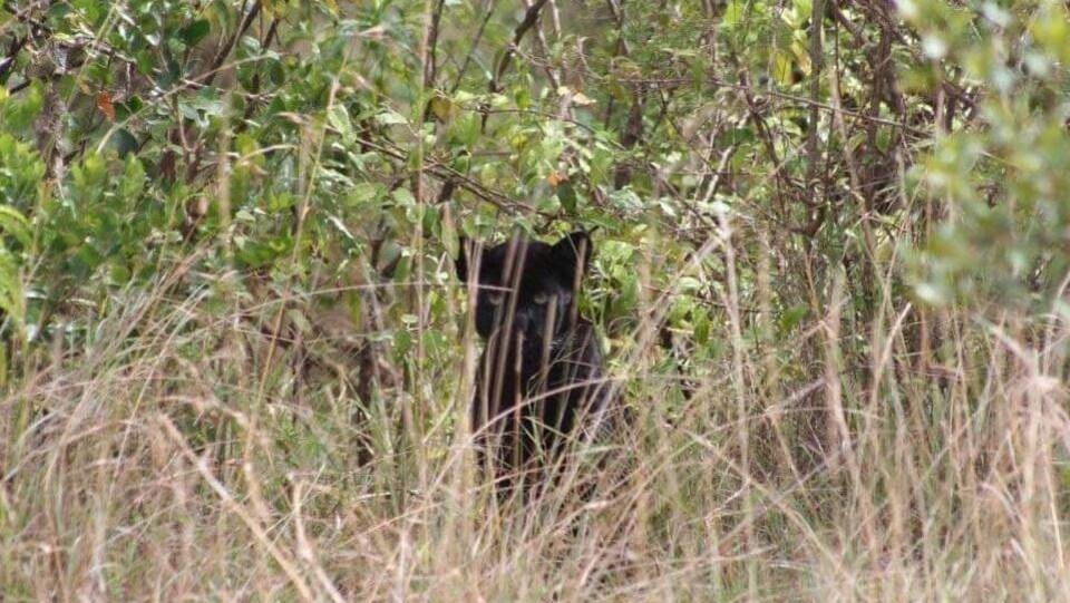 Une jeune panthère noire fixe l'objectif, cachée derrière des herbes hautes