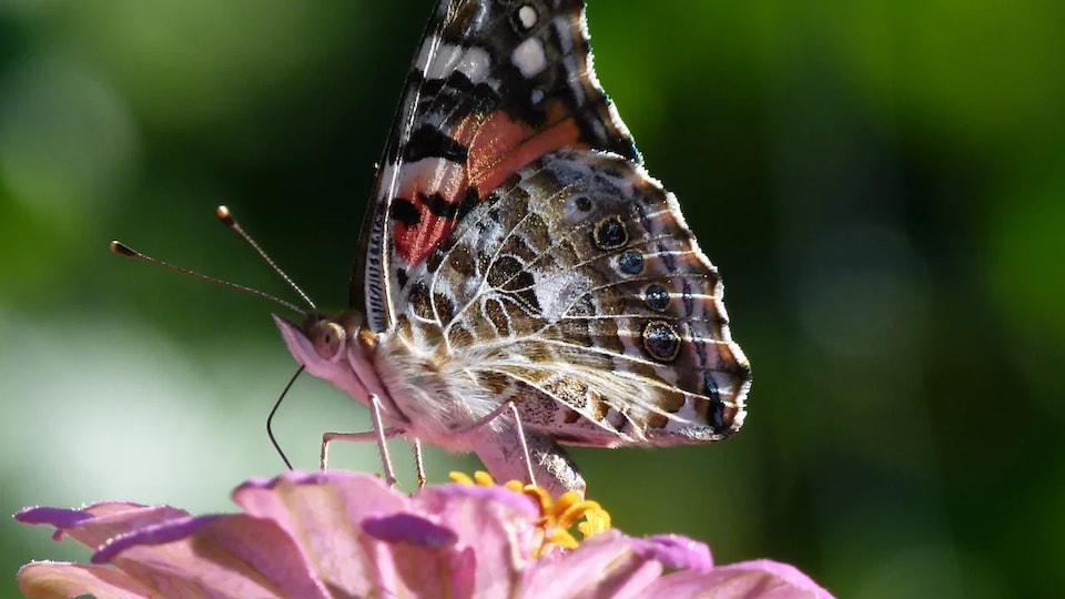 Un papillon butine.