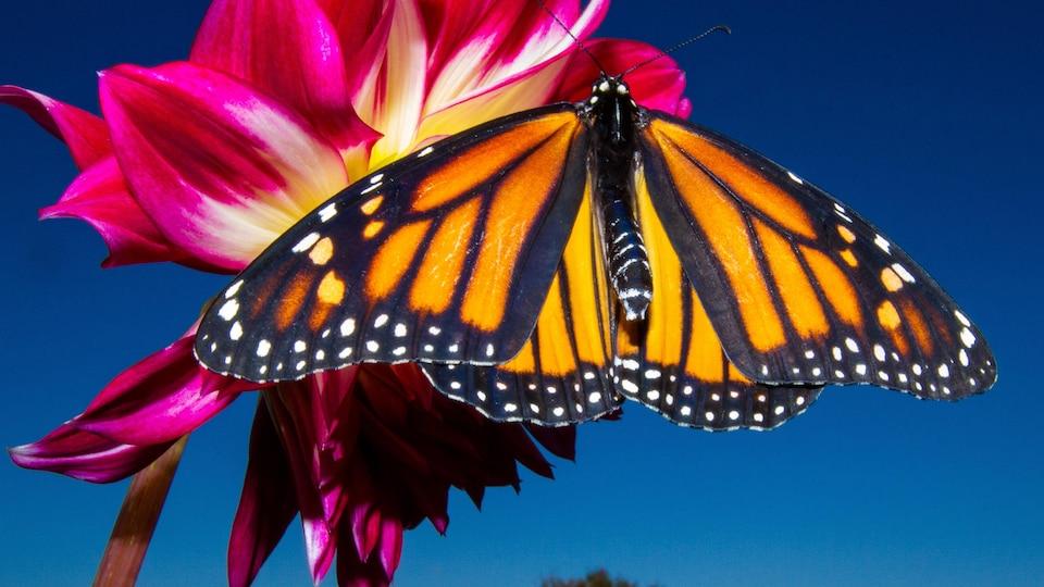 Un papillon monarque sur une fleur.