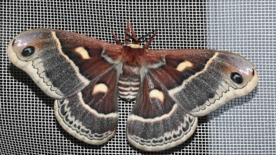 Un papillon sur un moustiquaire.