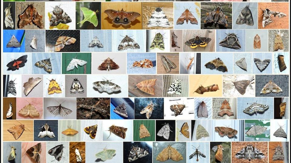 Un montage de photos de nombreux papillons.