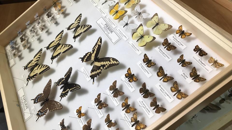 Une collection de papillons observés au Québec.