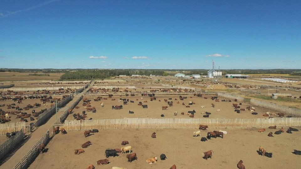 Vue aérienne de plusieurs centaines de vaches dans quelques enclos, avec des bâtiments agricoles au loin, sous un ciel bleu.