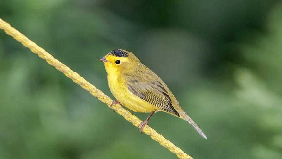 Un oiseau jaune avec une tache noire sur le dessus de la tête est perché sur une corde jaune.