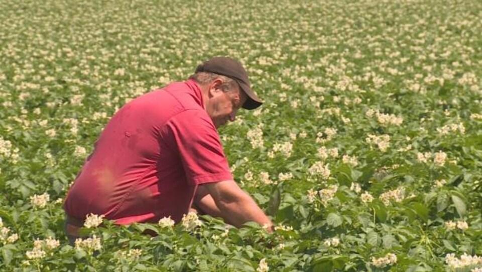 Les fermes de l'Île-du-Prince-Édouard produisent près du quart des pommes de terre du Canada.