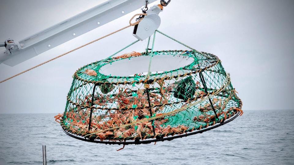 Un caiser de crabe des neiges est suspendu au dessus de l'eau.