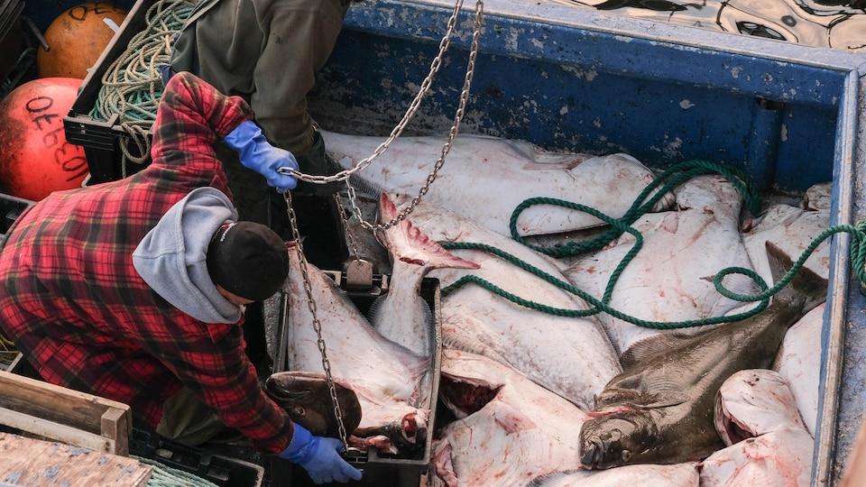 Des flétans au fond d'un bateau de pêche.