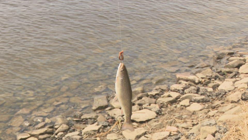 Cette belle truite s'est fait déjouer par un pêcheur