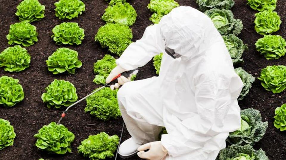 Traitement de légumes aux pesticides.