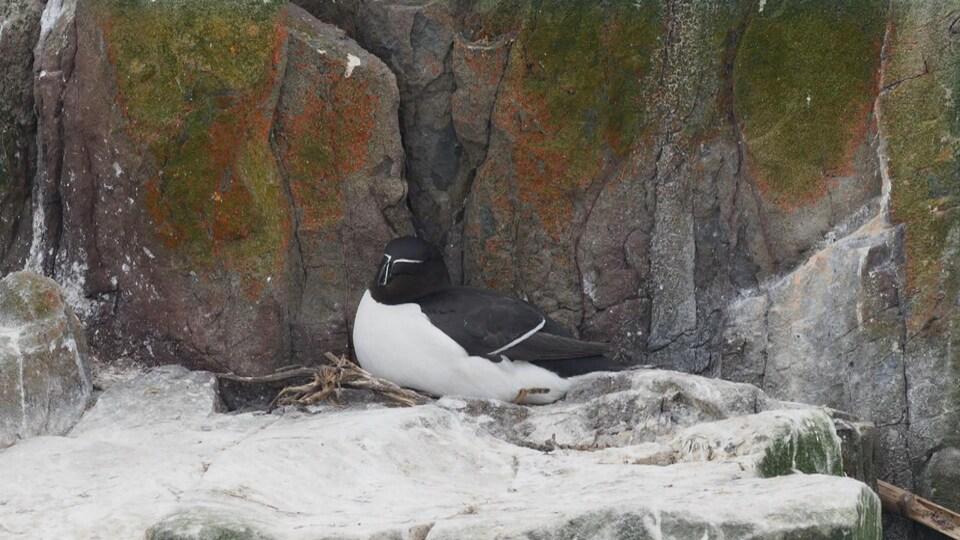On voit un pingouin dans son nid, sur une saillie de rocher.