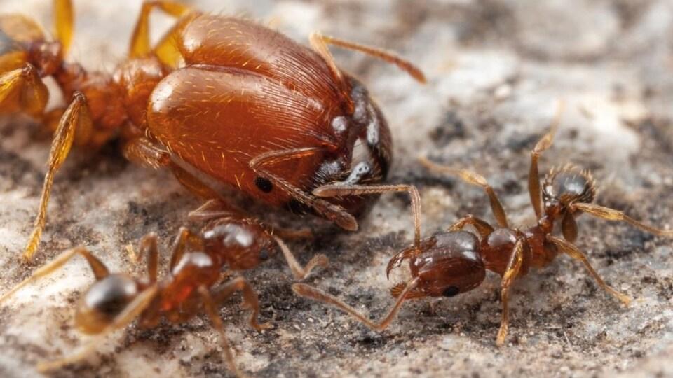 Une fourmi soldat et des ouvrières (les petites) du genre Pheidole.