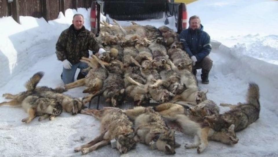 Deux hommes sont agenouillés aux côtés d'une vingtaine de coyotes morts.