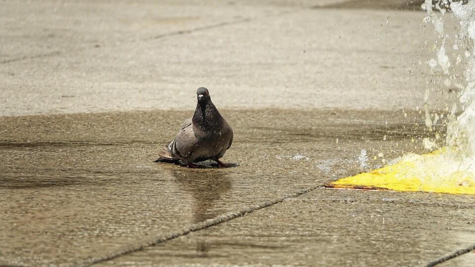 Un pigeon se rafraîchi dans une fontaine d'eau.