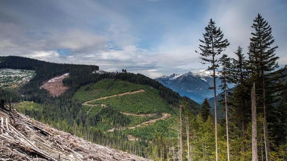 Des arbres, certains plus jeunes que d'autres, à flanc de montagne. En arrière-plan, des pics enneigés.