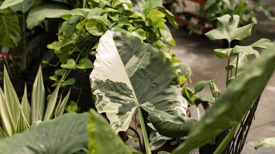 Des plantes tropicales vertes avec des variégations crèmes.
