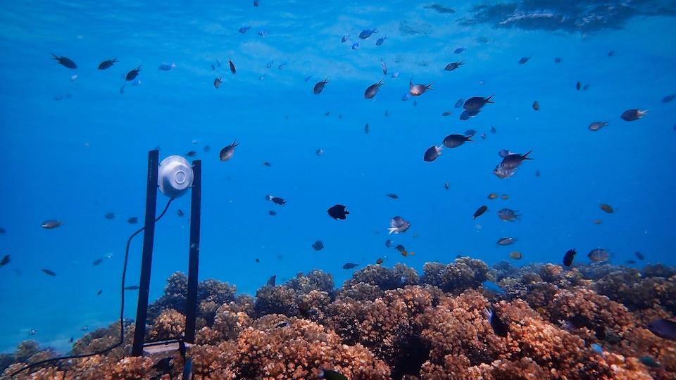 En mer, sous l'eau, un petit haut parleur émet du son de corail sain au-dessus d'un corail dégradé en Australie pour attirer les larves.
