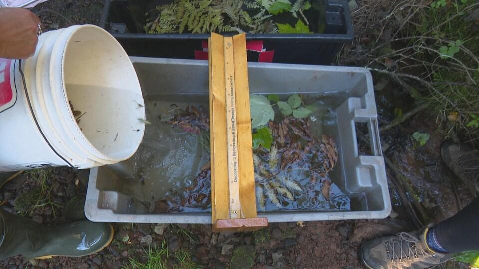 Les poissons passent d'un sceau blanc à un autre grand bac en plastique.