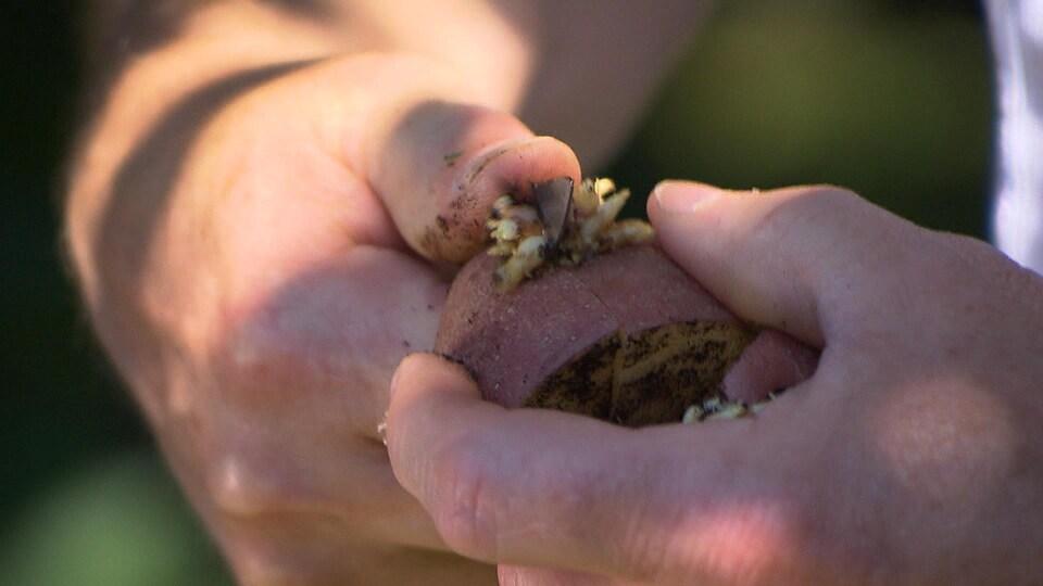 Des mains munies d'un couteau coupent une pomme de terre germée.