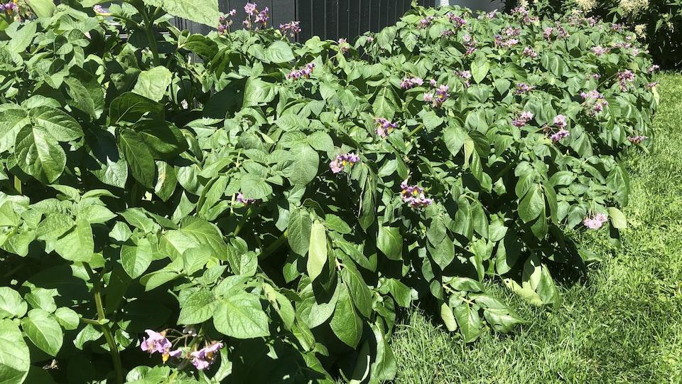 Des plants de pommes de terre en fleur.