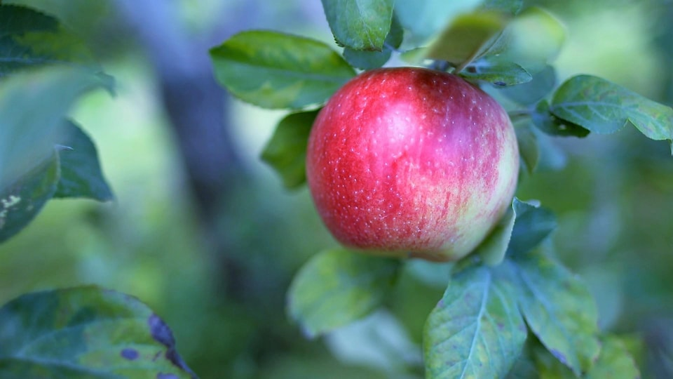 Une pomme rouge dans un arbre.