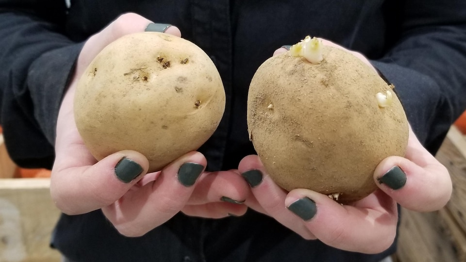 Des pommes de terre dans des mains.