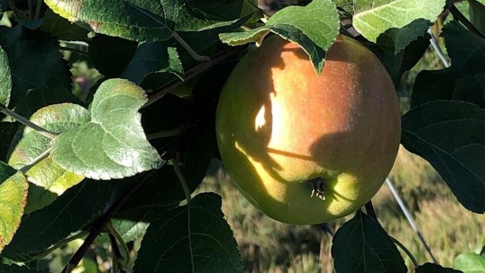 Pomme en gros plan.