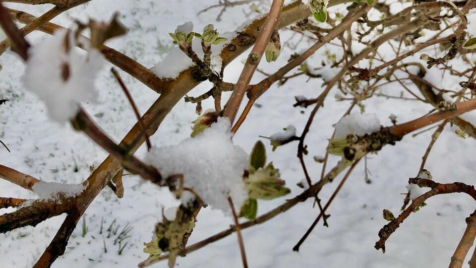 Une branche de pommier sous la neige.