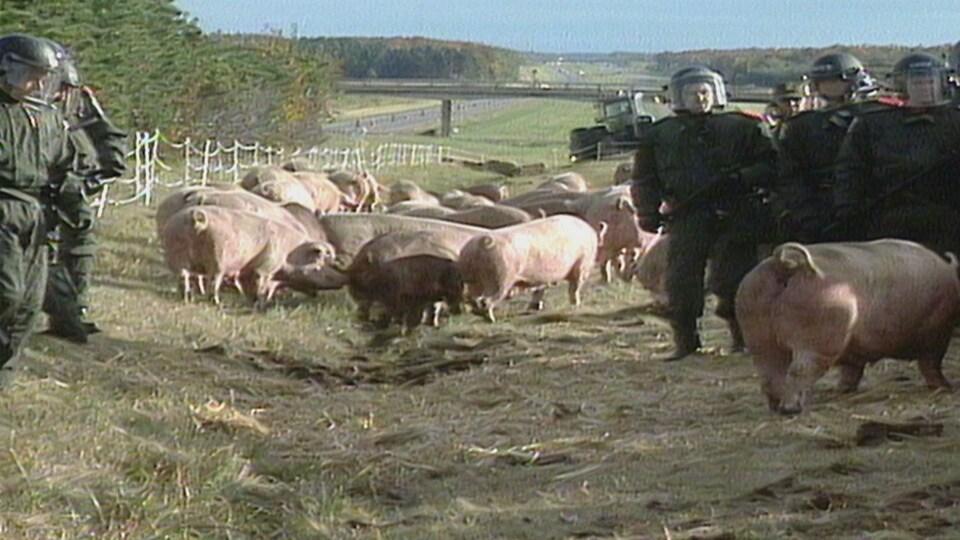 Des porcs et des policiers sur l'autoroute 20, près de Drummondville.