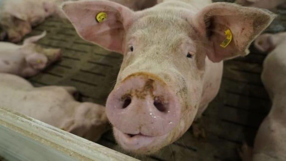 Un porc dans une étable