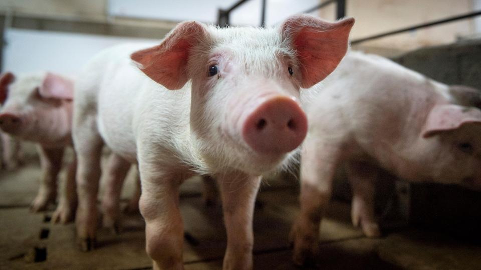 Élevage de porc à la ferme Meloporc, à Saint-Thomas de Joliette, au Québec.
