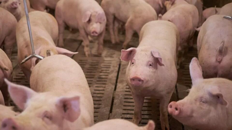 De nombreux jeunes porcs rassemblés.