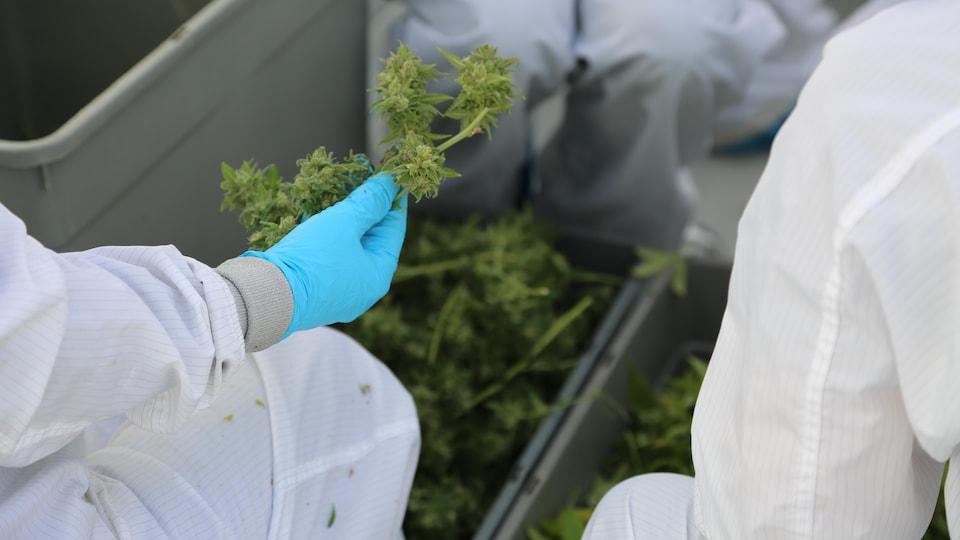 Des personnes portant des gants utilisent des ciseaux pour couper des feuilles de marijuana.