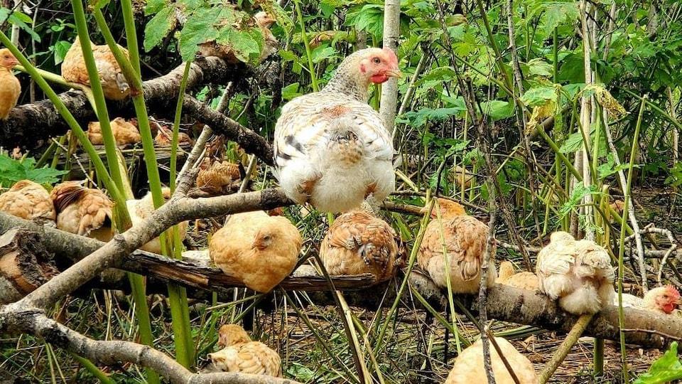 Des poules dans les bois.
