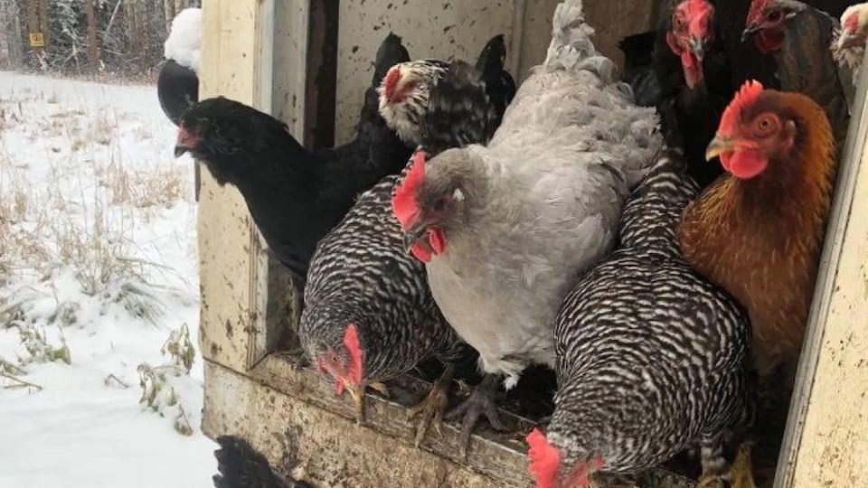Des poules dans un poulailler.