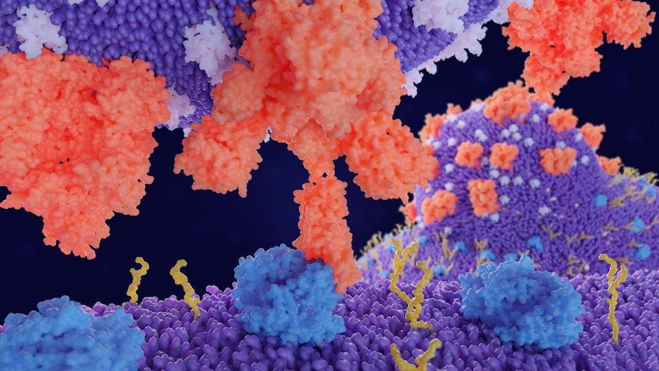 C'est une représentation visuelle de l'interaction entre le virus et la cellule.