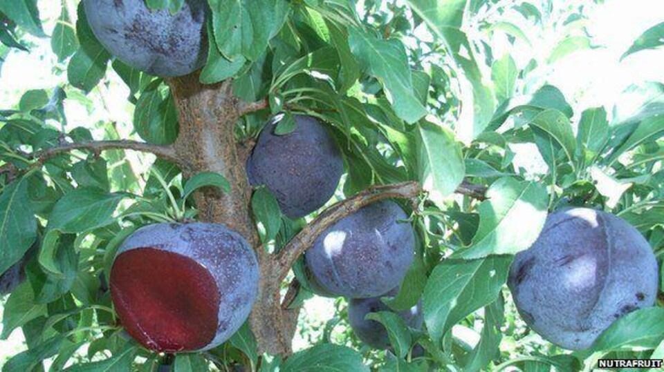 Des fruits mauves attachés à la branche d'un arbre.
