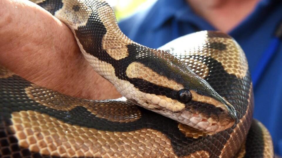 Un gros python entortillé autour du bras d'un homme.