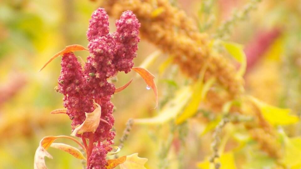Plant de quinoa en septembre