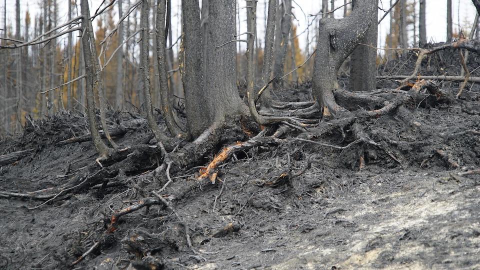 On voit des racines d'arbres calcinées par un incendie forestier.
