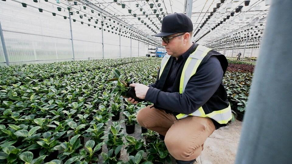 Un homme inspecte des centaines de philodendrons birkin dans une serre industrielle.